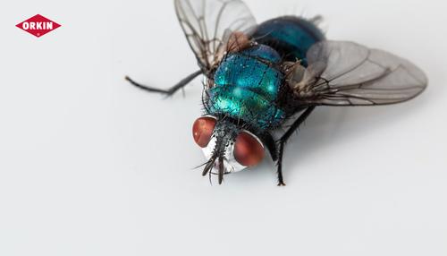 Flies Types in Egypt
