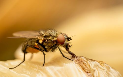 Flying Insects Control in Egypt
